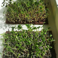 Growing Microgreens – How we do it